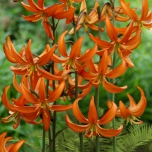 Lis Bonnet Turc Orange Marmelade - Lilium martagon