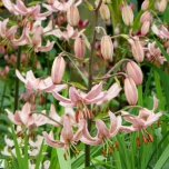 Lis Bonnet Turc Pink Morning - Lilium martagon
