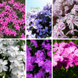 Phlox subulata mix – Phlox mousse en melange (Pack de Six)