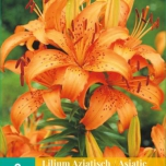 Lilium Asiaticus Orange – Lys Asiatiques