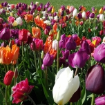 Tulipes Fantaisie Mix (XL)