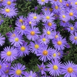 Aster ageratoides Asran -  Aster d'automne