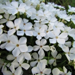 Phlox subulata White Delight - Phlox mousse